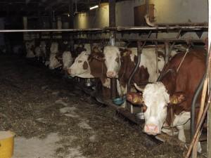 vaches étable