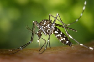 tiger-mosquito-49141__340